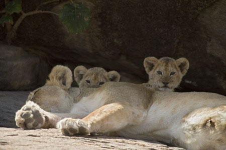 lion and lioness and cub. Lioness with cubs. These lions